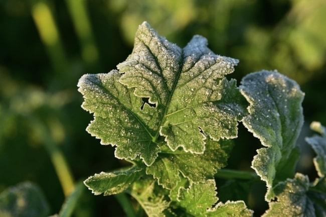 霜 家庭菜園